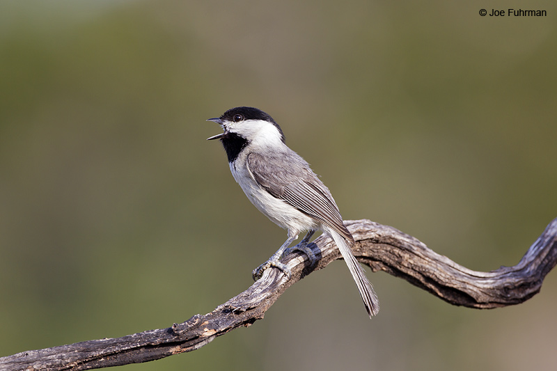 Carolina Chickadee Travis Co., TX   April 2012