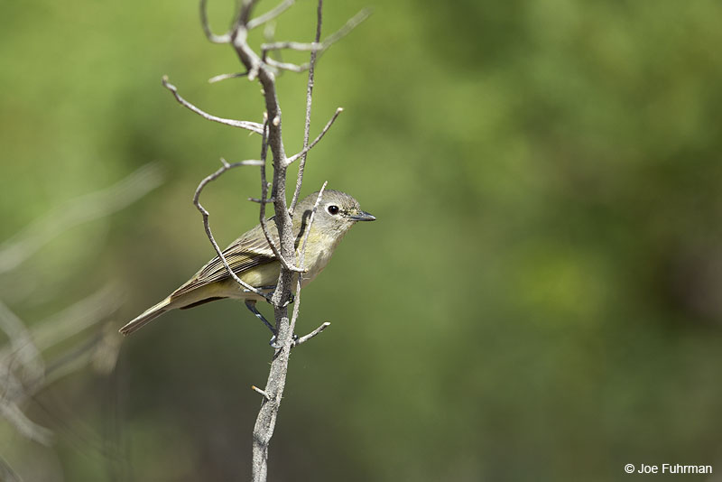 Cassin's Vireo Riverside Co., CA   May 2014