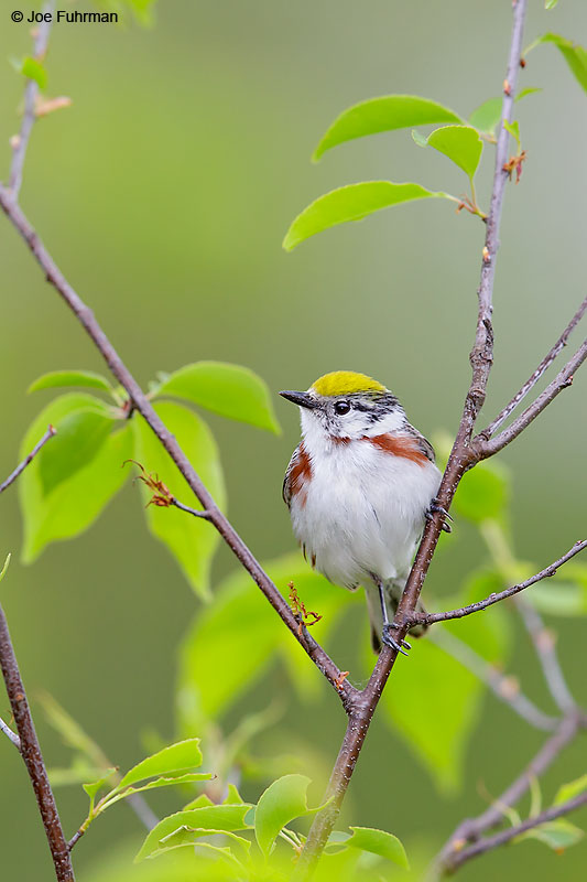 Chestnut-sided WarblerLackawanna Co., PA May 2016