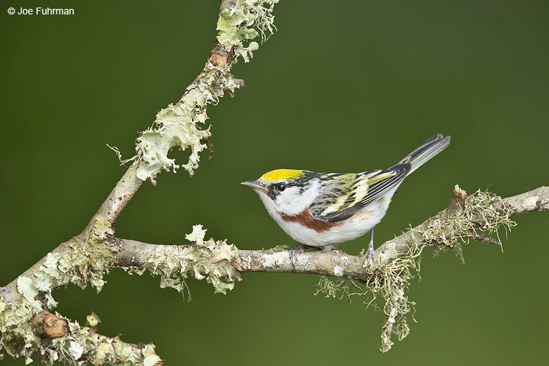 Chestnut-sided Warbler Galveston, TX April 2014