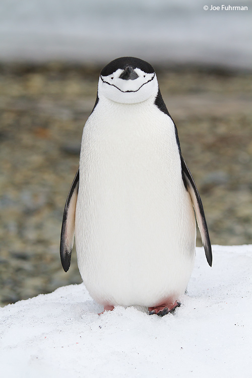 Chinstrap_Penguin_MG_8616