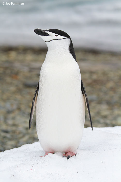 Chinstrap_Penguin_MG_8621