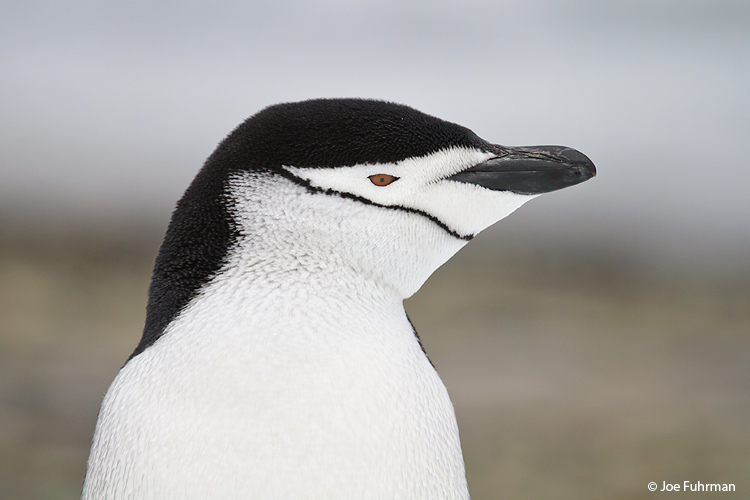 Chinstrap_Penguin_MG_8622