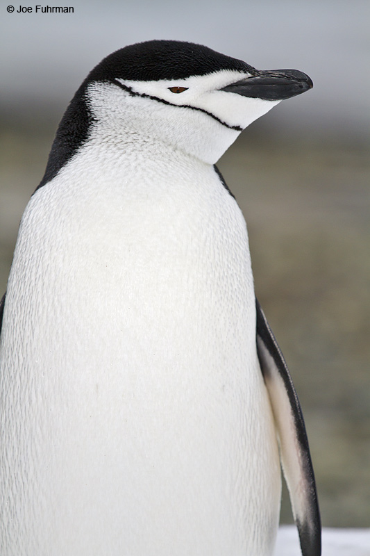 Chinstrap_Penguin_MG_8625