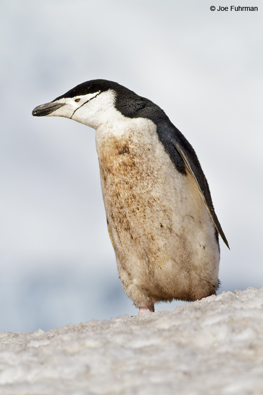Chinstrap_Penguin_MG_9107