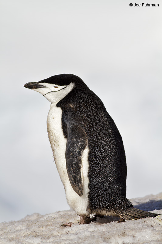 Chinstrap_Penguin_MG_9115