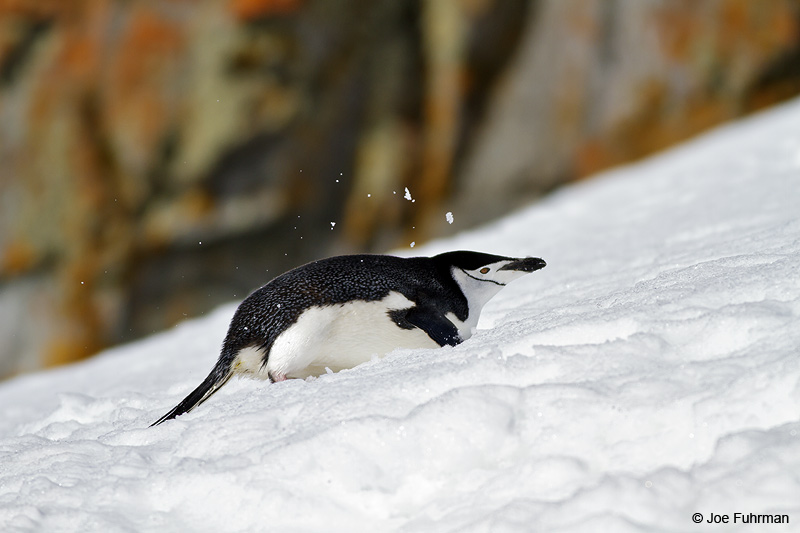 Chinstrap_Penguin_MG_9141