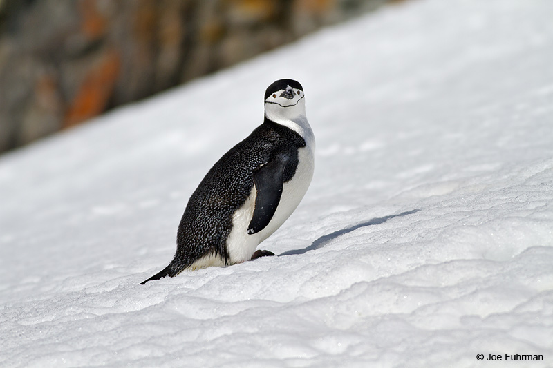 Chinstrap_Penguin_MG_9143