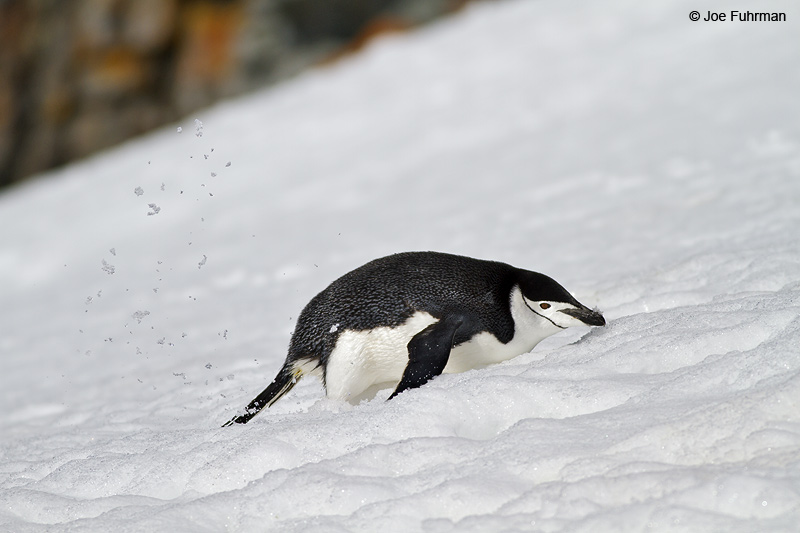 Chinstrap_Penguin_MG_9147