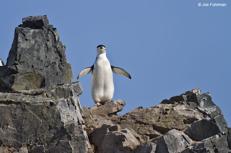 Chinstrap_Penguin_MG_9163