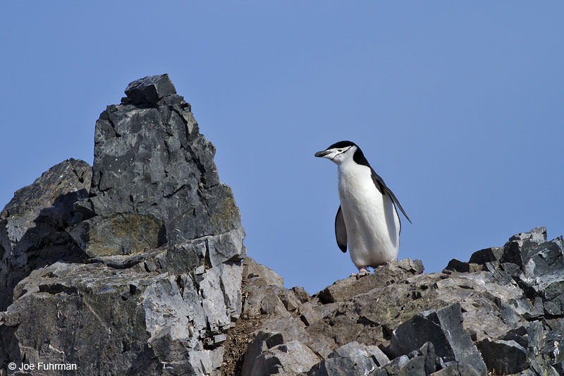 Chinstrap_Penguin_MG_9169