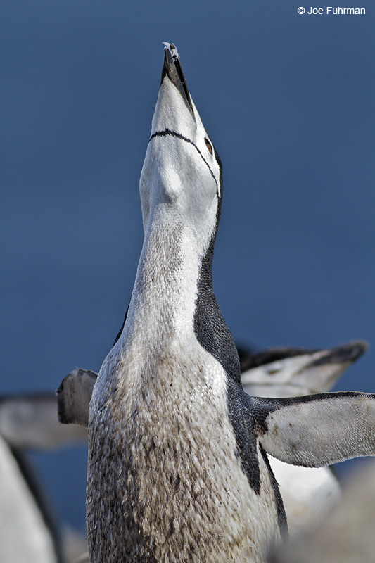 Chinstrap_Penguin_MG_9204