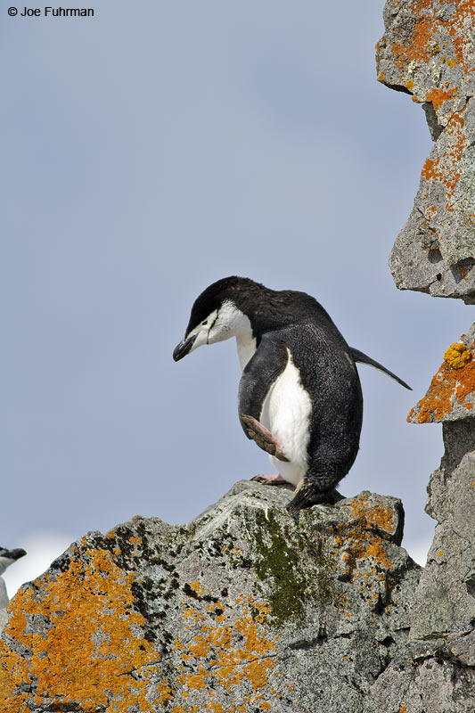 Chinstrap_Penguin_MG_9282