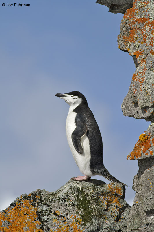 Chinstrap_Penguin_MG_9290