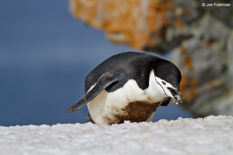 Chinstrap_Penguin_MG_9310