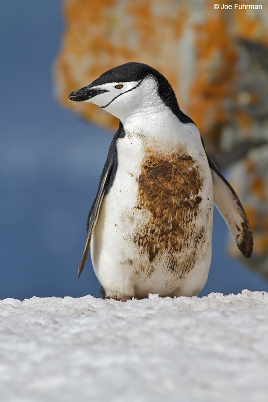 Chinstrap_Penguin_MG_9315