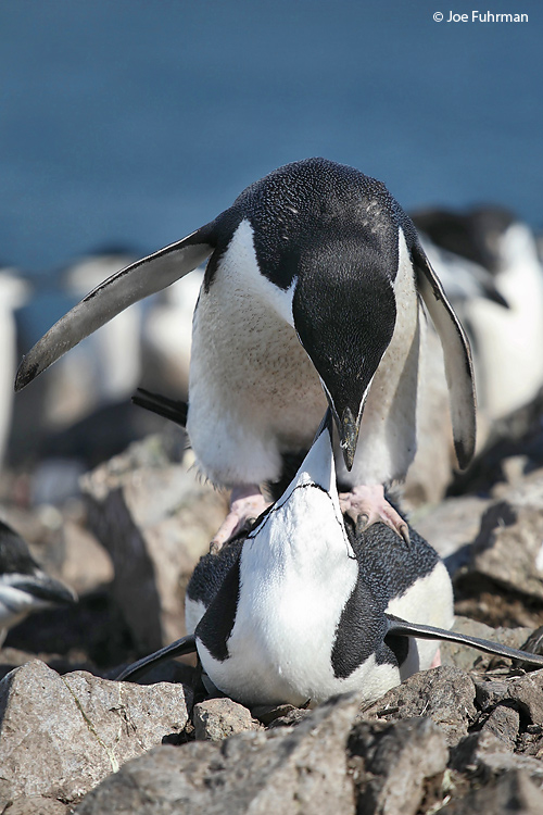 Chinstrap_Penguin_W0G4688