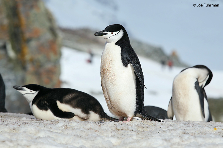 Chinstrap_Penguin_W0G4740