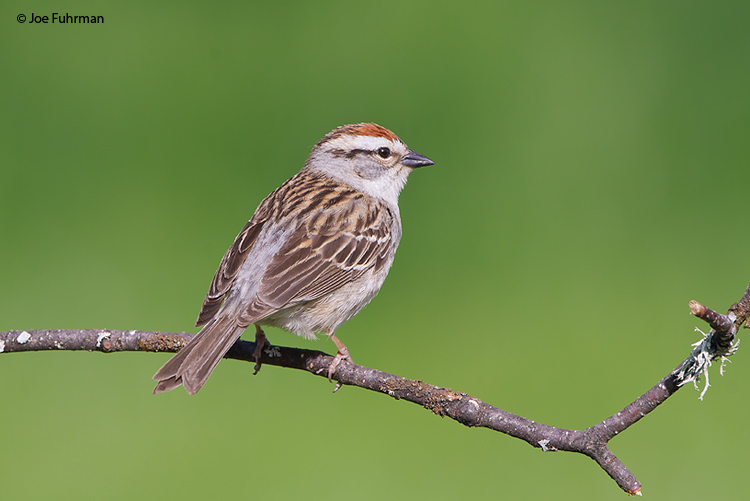 Chipping Sparrow Cuyahoga Co., OH May 2009