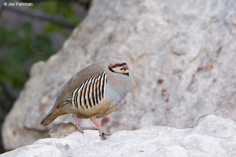 Chukar Clark Co., NV   May 2014