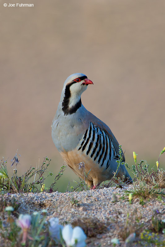 Chukar   Kern County, CA    April 2006