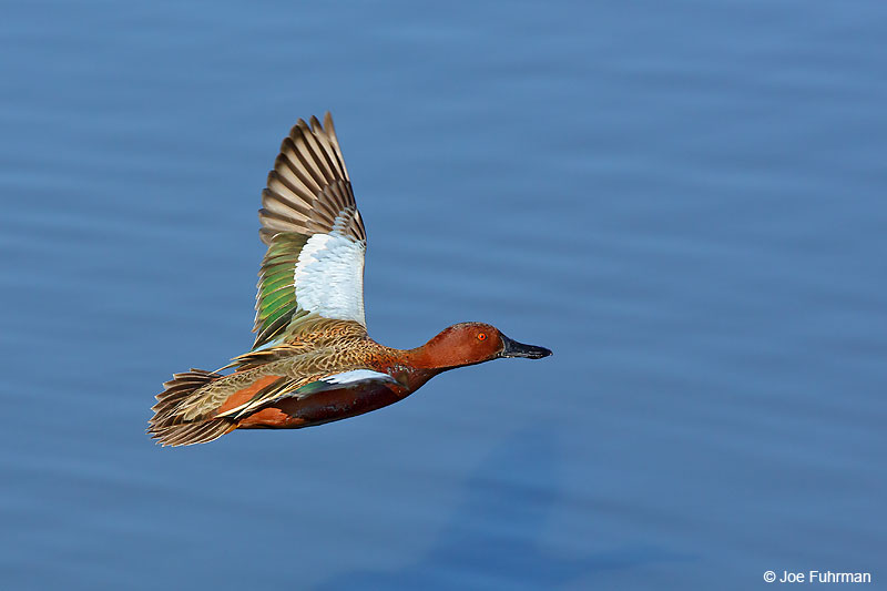 Cinnamon Teal Orange Co., CA Jan. 2016