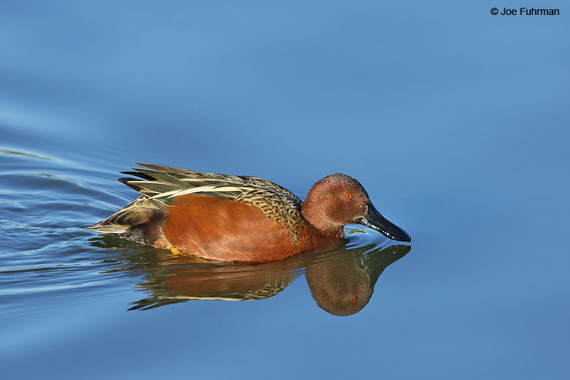 Cinnamon Teal Irvine, CA Dec. 2013