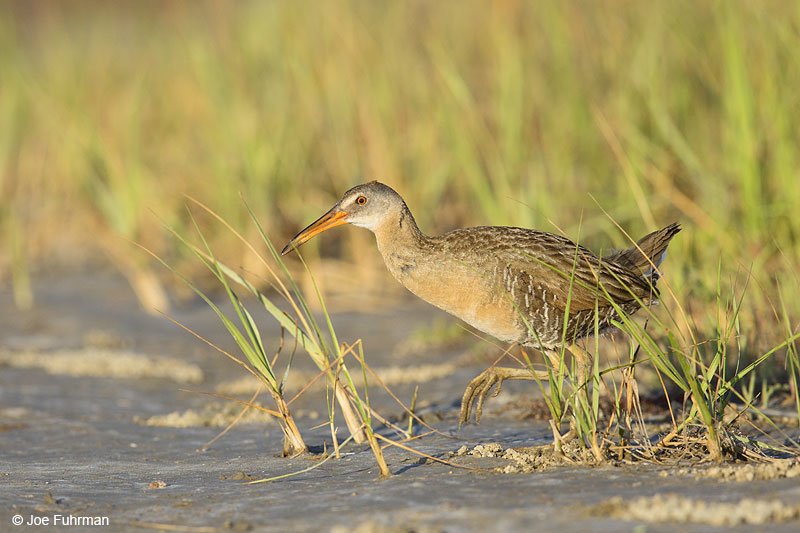 Clapper Rail  Galveston, TX   May 2014