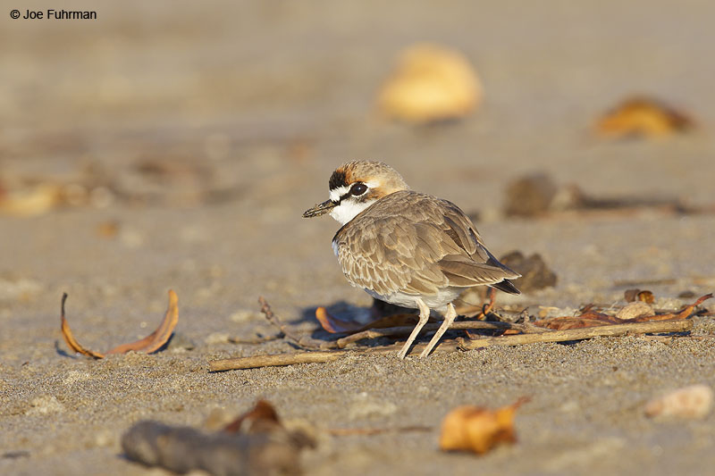 Collared Plover Nay., Mexico   Dec. 2013