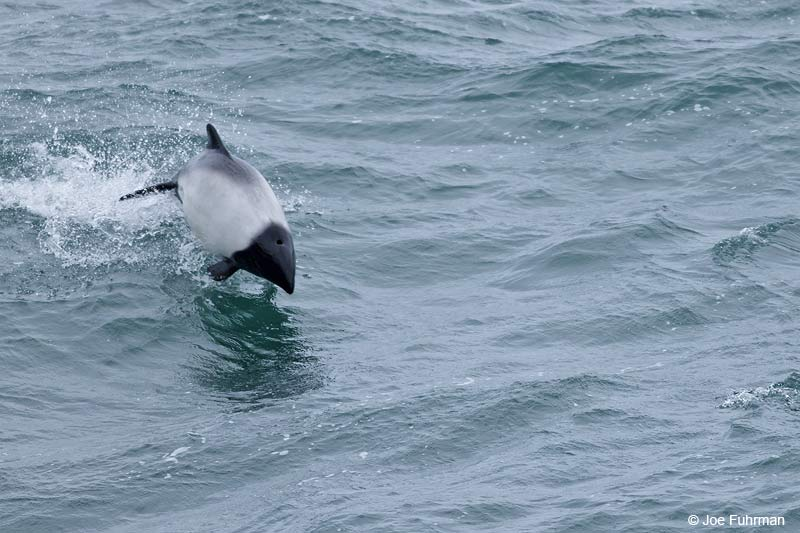 Commerson's Dolphin Falkland Islands     Nov. 2010