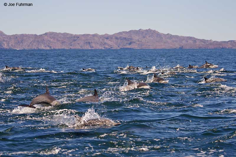Common Bottlenose Dolphin Loreto, BCS, Mexico   March 2011