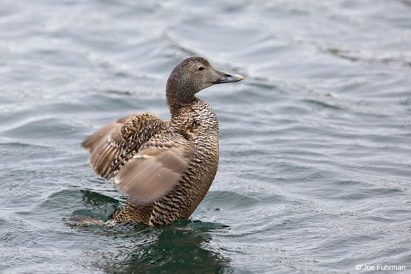 Common Eider (borealis sub species) Iceland July 2013