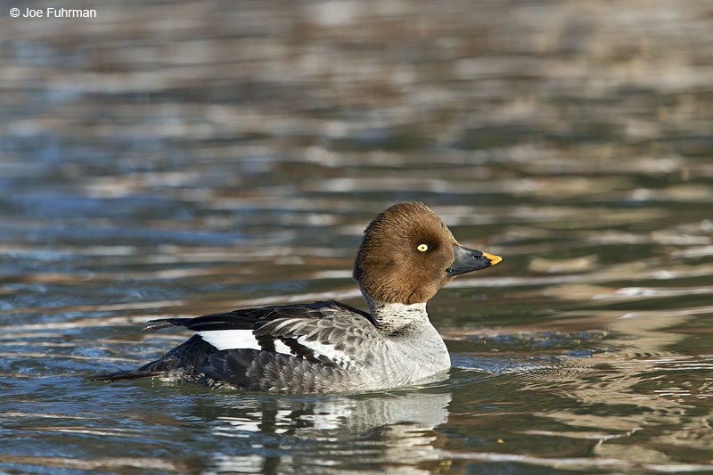 Common Goldeneye Anchorage, AK   March 2014