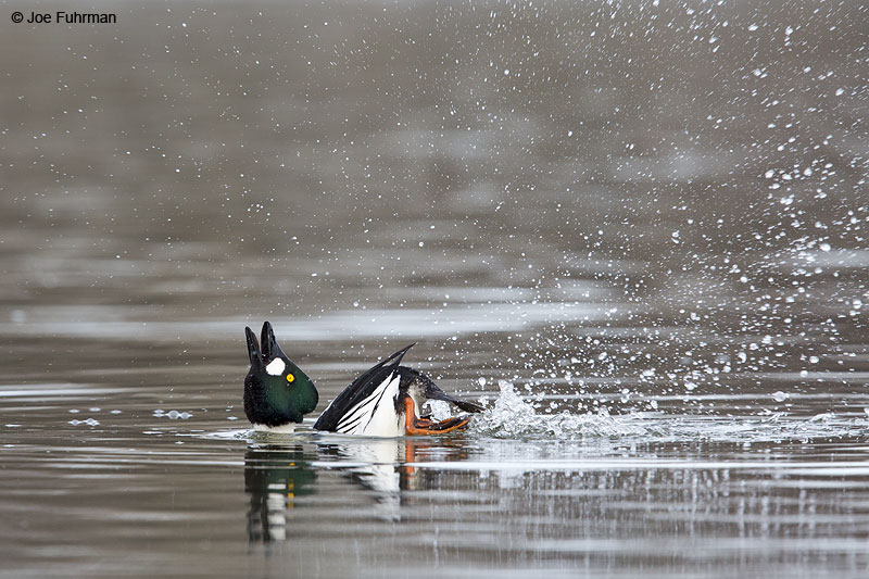 Common Goldeneye Anchorage, AK   April 2014