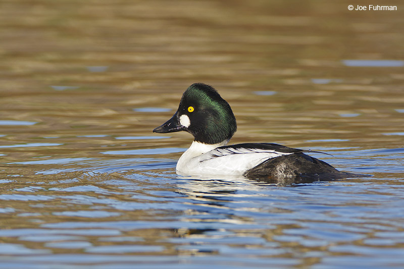 Common Goldeneye male L.A. Co., CA   December 2008