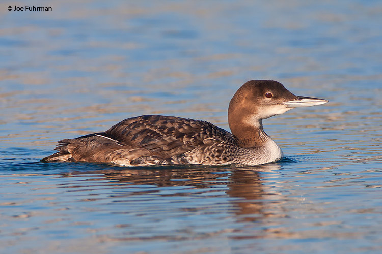 Common Loon L.A. Co., CA   December 2008