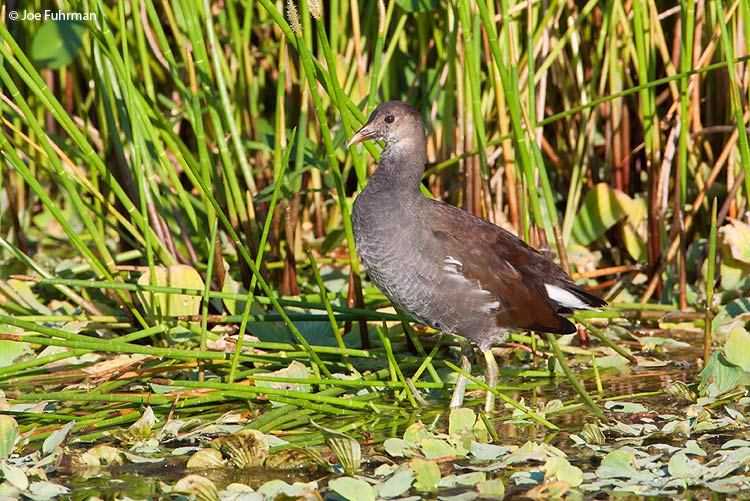 Common Moorhen juvenile  Palm Beach Co., FL   October 2009