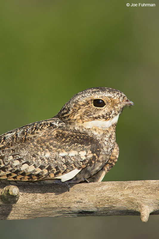 Common Nighthawk Galveston, TX   April 2014