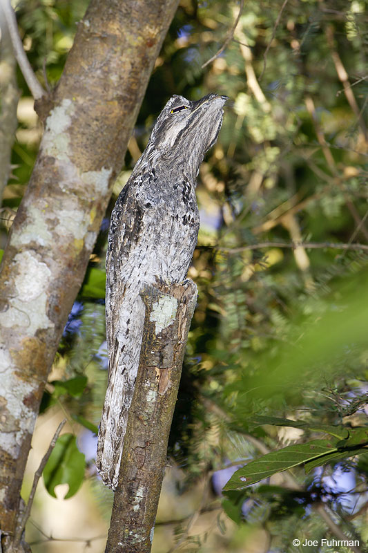 Common Potoo Miranda, MS  BRZ March 2008 c. Joe Fuhrman