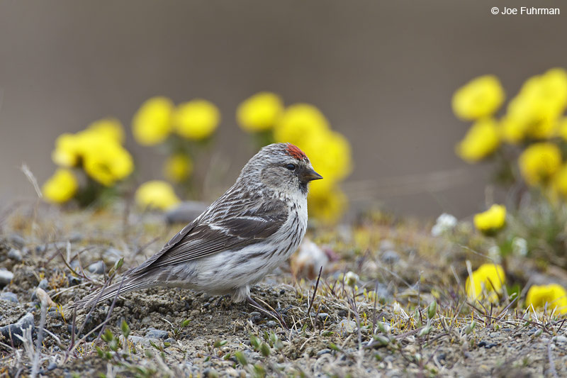 Common Redpoll Barrow, AK June 2012