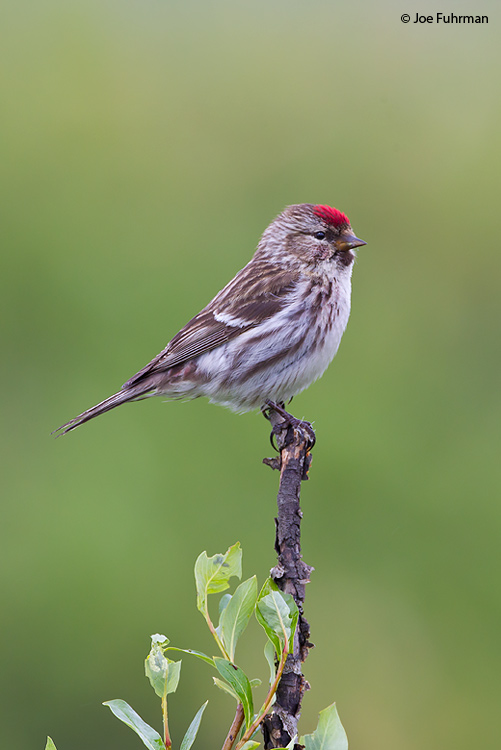 Common Redpoll Seward Peninsula, AK June 2011
