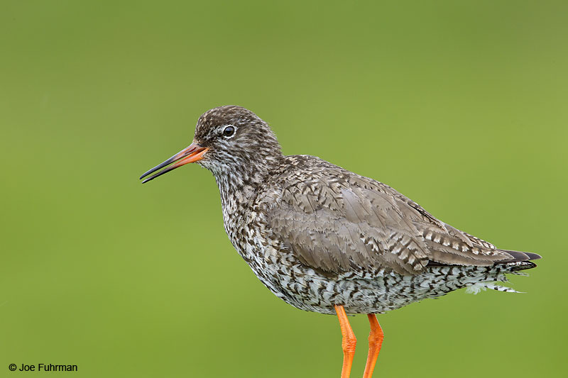 Common Redshank Iceland   July 2013