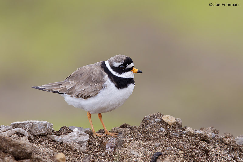 Common Ringed Plover Iceland   July 2013