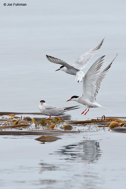 Common Tern Santa Cruz Co., CA August 2016