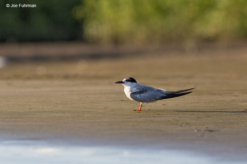 Common Tern Nay., Mexico Dec. 2013