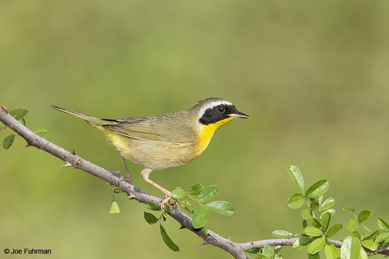 Common Yellowthroat male Galveston Co., TX April 2014