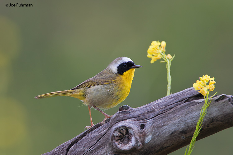 Common Yellowthroat Ventura Co., CA May 2008 c. Joe Fuhrman