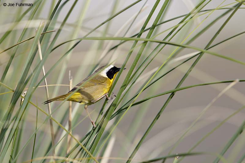 Common Yellowthroat male L.A. Co., CA March 2013