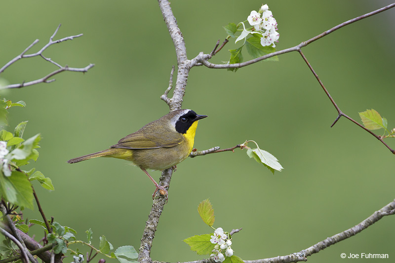 Common Yellowthroat male Cattaraugus Co., NY May 2012