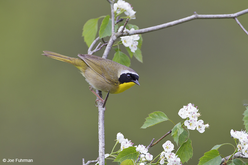 Common Yellowthroat Cattaraugus Co., NY May 2012